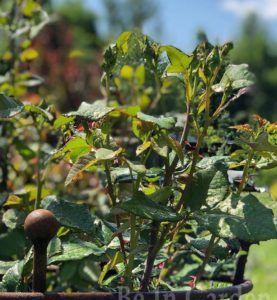Опора для растений Однокольцовая